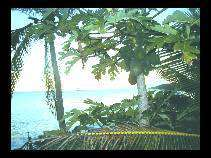 Le palme di Niue