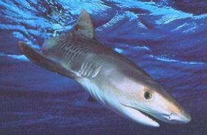 Uno squalo tigre