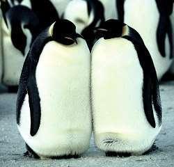 pinguini obesi